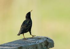 European starling Stock Photos