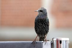 European starling begging for food. European starling also known as common starling - Sturnus vulgaris - begging for food near turist attraction Stock Image