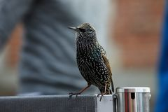 European starling begging for food. European starling also known as common starling - Sturnus vulgaris - begging for food near turist attraction royalty free stock photography