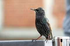 European starling begging for food. European starling also known as common starling - Sturnus vulgaris - begging for food near turist attraction Stock Photo