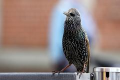European starling begging for food. European starling also known as common starling - Sturnus vulgaris - begging for food near turist attraction Royalty Free Stock Photo