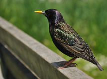 European Starling bird Stock Images