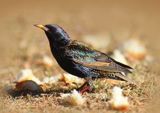 European Starling Bird in Mating Plumage. Starling bird in beautiful iridescent breeding plumage standing in the grass Stock Photo