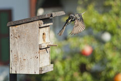 European starling and bird nest. European starling fly back to feed a nestling royalty free stock image