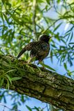 European starling on the branch.  Stock Image