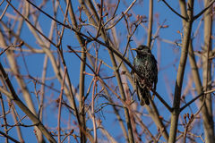 European Starling. On a branch in spring, blue background Stock Photography