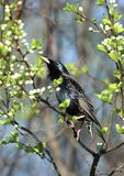 European starling in breeding plumage Royalty Free Stock Images