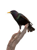 European Starling. A dazzling European Starling posed on driftwood. Though primarily black with a bright yellow beak, the birds have iridescent purplish-green Royalty Free Stock Images