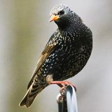 European Starling royalty free stock images
