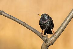 European Starling. Straddling the crotch of a branch.Humber Bay Park, Toronto, Ontario, Canada Royalty Free Stock Images
