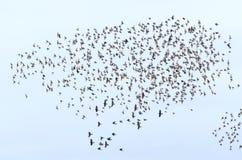European Starling stock photos