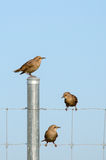 European starling fledglings. Three juvenile european starlings perched on a fence Royalty Free Stock Photo