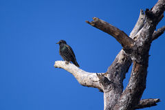 European Starling, Florida. European Starling, perched in a dead tree, Rockledge, Florida stock photography