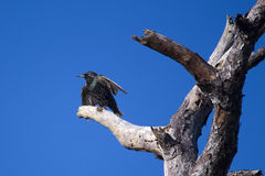 European Starling, Florida. European Starling, perched in a dead tree, Rockledge, Florida Stock Images