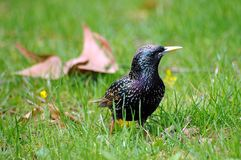 European Starling in grass Stock Photo