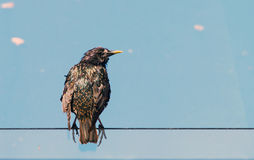 A European Starling. An invasive species that has spread throughout the Northern United States Stock Photo