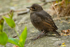 European Starling. Juvenile European Starling standing on a rock royalty free stock photo