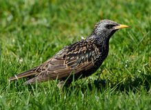 European Starling. A European Starling looking for food in the grass Royalty Free Stock Images