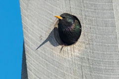European Starling. Peaking out of a bird house Stock Photography