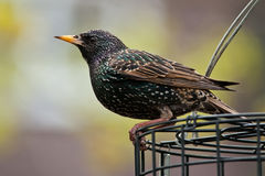 European Starling. Perched on a bird feeder Stock Photos