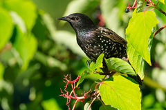 European Starling. Perched on a branch Stock Image