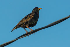 European Starling. Perched on a hydro wire Royalty Free Stock Photography