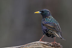European Starling. A european starling perched on a log Stock Photo