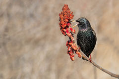 European Starling. Perched on a Sumac branch Royalty Free Stock Image