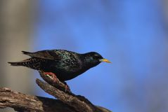 European Starling. Perched European starling with winter plumage Stock Photos