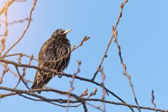 European starling in spring on tree branches.  stock photo