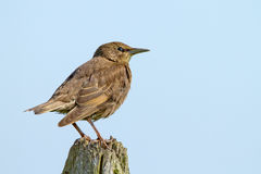 European Starling (Sturnus vulgaris). On a stump with a blue background Stock Photos