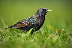 European Starling, Sturnus vulgaris, in beautiful plumage walking in green grass Royalty Free Stock Images