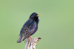 European Starling ( Sturnus vulgaris ). European Starling (Sturnus vulgaris) on the branch Royalty Free Stock Photos