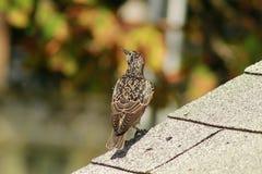 European Starling sturnus vulgaris perched on top of a roof. European Starling sturnus vulgaris common bird stock images