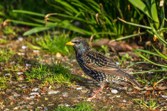 European Starling, Sturnus vulgaris, dark bird. In beautiful plumage walking in green grass, animal in the nature habitat, spring, Canada Stock Images