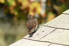 European Starling sturnus vulgaris perched on top of a roof. European Starling sturnus vulgaris common bird stock photos