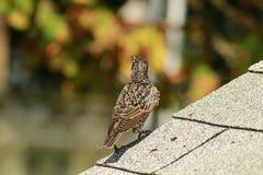 European Starling sturnus vulgaris perched on top of a roof. European Starling sturnus vulgaris common bird stock image