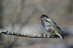 European Starling. Sturnus vulgaris perching Stock Photography