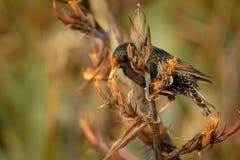 European Starling - Sturnus vulgaris pollinating the australian flowers. European bird introduced to Australia, New Zealand, South. America, North America, Asia Royalty Free Stock Photos