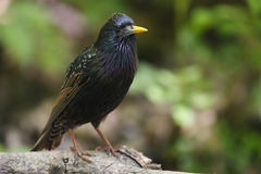 European Starling (Sturnus vulgaris vulgaris) Stock Images