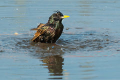 European Starling. Taking a bath Royalty Free Stock Images