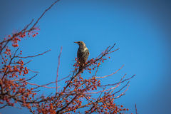 European Starling on a tree with red fruits Stock Photos
