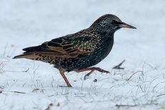 European Starling. Walking in the snow Royalty Free Stock Photos