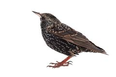 European starling. On a white background Stock Photography