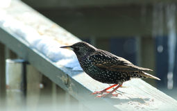 European Starling in the winter Royalty Free Stock Photo