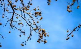 European Starlings feeding on Autumn tree seed pods Stock Photo