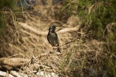 European Starlings Royalty Free Stock Photography