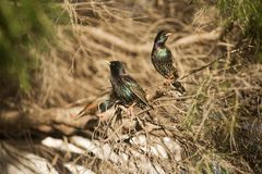 European Starlings Royalty Free Stock Image