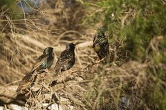 European Starlings Royalty Free Stock Images