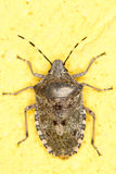 European stink bug / Rhaphigaster nebulosa Stock Photos